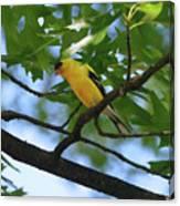 Goldfinch In Oak Tree Canvas Print