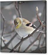 Goldfinch In Winter Canvas Print