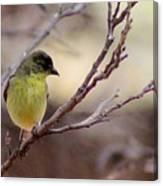 Goldfinch On Branch 032814a Canvas Print
