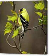 Goldfinch Suspended In Song Canvas Print