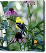 Goldfinch Visiting Coneflower Canvas Print
