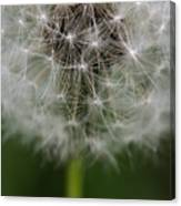 Gone To Seed - Color Canvas Print
