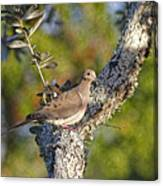 Good Mourning Dove By H H Photography Of Florida Canvas Print