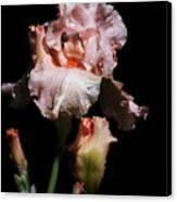 Goodnight Kiss Iris  Canvas Print