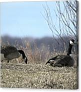Goose And Gander Canvas Print