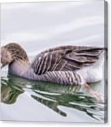 Goose Swimming Canvas Print