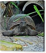 Gopher Tortoise II Canvas Print