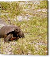 Gopher Turtle Canvas Print