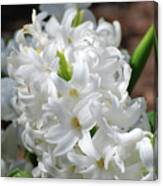 Goregeous White Flowering Hyacinth Blossom Canvas Print