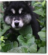 Gorgeous Alusky Puppy Playing Hide And Seek  Canvas Print