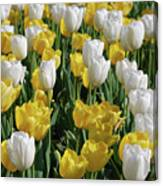 Gorgeous Blooming Field Of White And Yellow Tulips Canvas Print