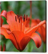 Gorgeous Blooming Orange Lily Flowering In A Garden Canvas Print