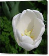 Gorgeous Blooming White Tulip Flower Blossom In Spring Canvas Print