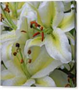 Gorgeous Cluster Of Blooming White Lilies In A Bouquet Canvas Print