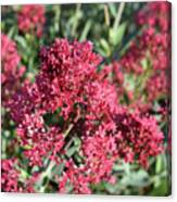 Gorgeous Cluster Of Red Phlox Flowers In A Garden Canvas Print