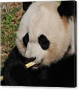Gorgeous Face Of A Giant Panda Bear With Bamboo Canvas Print