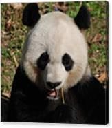 Gorgeous Face Of A Panda Bear Eating Bamboo Canvas Print