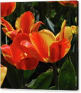 Gorgeous Flowering Orange And Red Blooming Tulips Canvas Print