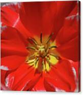 Gorgeous Flowering Red Tulip With A Yellow Center Canvas Print