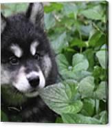Gorgeous Fluffy Alusky Puppy Peaking Out Of Plants Canvas Print