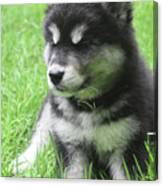 Gorgeous Fluffy Black And White Husky Puppy In Grass Canvas Print