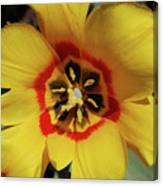 Gorgeous Look At The Center Of A Yellow Tulip Canvas Print