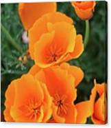 Gorgeous Orange California Poppies Canvas Print