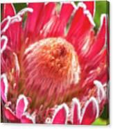 Gorgeous Pink Protea Bloom  Canvas Print