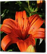 Gorgeous Pretty Orange Lily Flower Blooming In A Garden Canvas Print