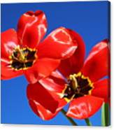 Gorgeous Red Tulips. Canvas Print