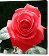 Gorgeous Rose Canvas Print