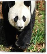 Gorgeous Sweet Giant Panda Bear Ambling Along Canvas Print