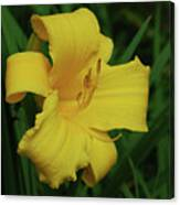 Gorgeous Yellow Daylily In A Garden Blooming Canvas Print