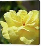 Gorgeous Yellow Rose Canvas Print