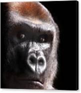 Gorilla ... Kouillou Canvas Print