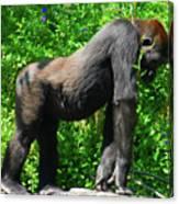 Gorilla Posing Canvas Print