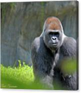 Gorilla Stare Canvas Print