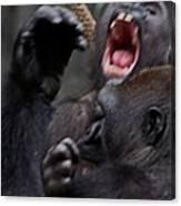 Gorillas Fighting Canvas Print