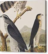 Goshawk And Stanley Hawk Canvas Print