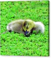 Gosling Taking A Nap Canvas Print