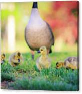 Goslings In The Park Canvas Print