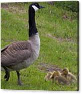 Goslings With Mother Goose Canvas Print