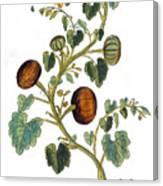Gourd, 1735 Canvas Print