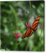 Graceful Oak Tiger Butterfly Around Pink Flowers Canvas Print