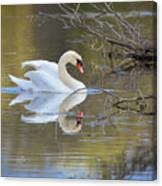 Graceful Swan I Canvas Print