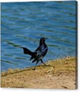 Grackle On The Move Canvas Print