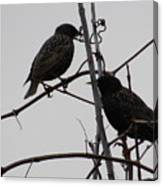 Grackles On Branches  Canvas Print