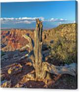 Grand Canyon Old Tree Canvas Print