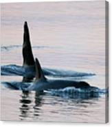 Granny And Ruffles Orca Whales J Pod Canvas Print