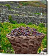 Grape Harvest Canvas Print